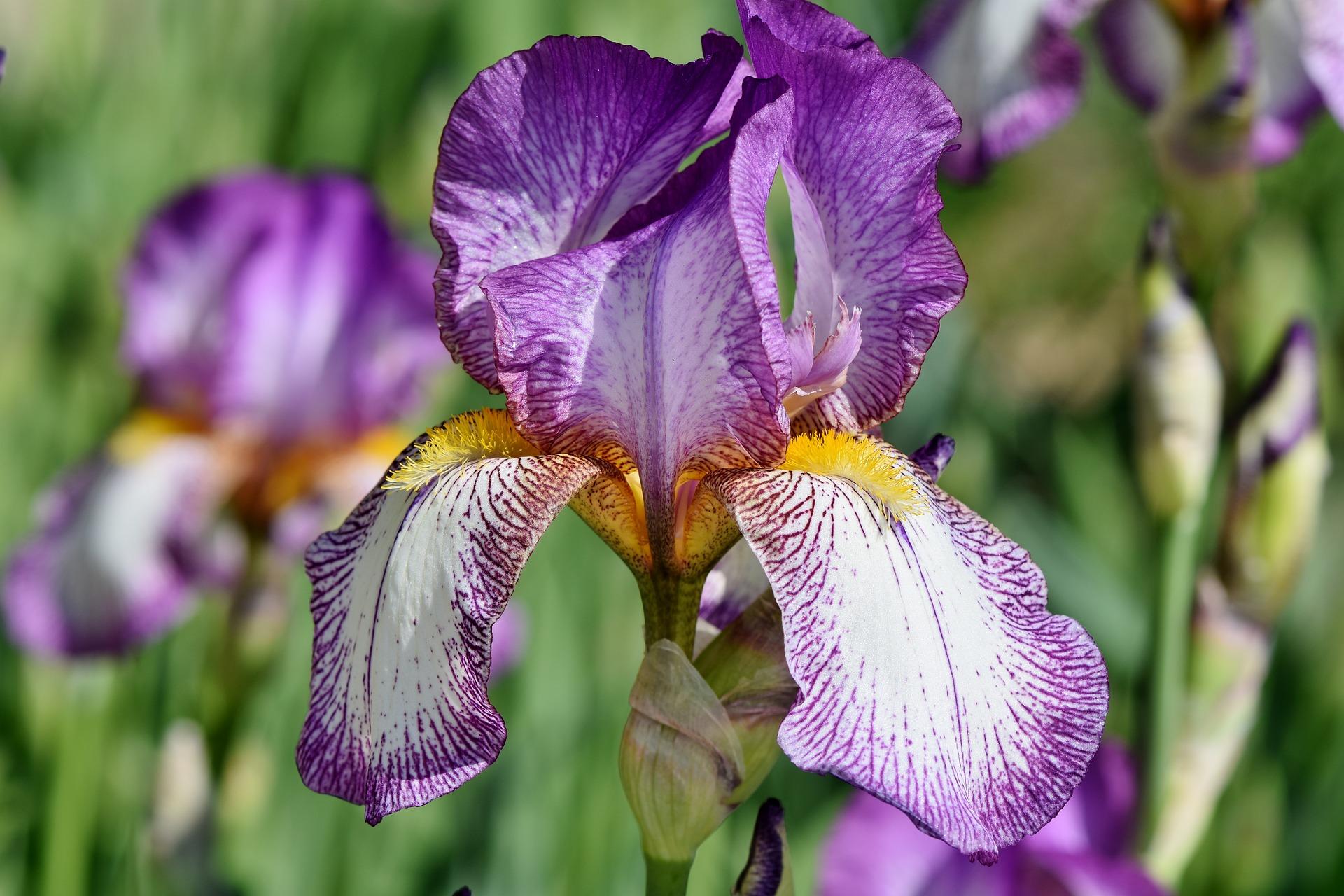 Iris spring flowers